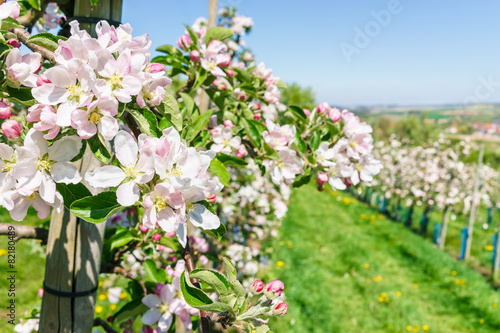 Fototapeta Owocowy kwiat na wiosnę
