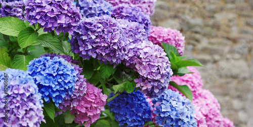 Staande foto Hydrangea Hortensie