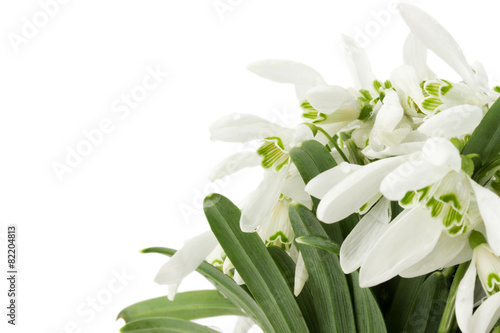 Wall Murals beautiful snowdrops isolated on a white background