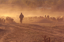 Shepherd With Flock Of Sheep A...