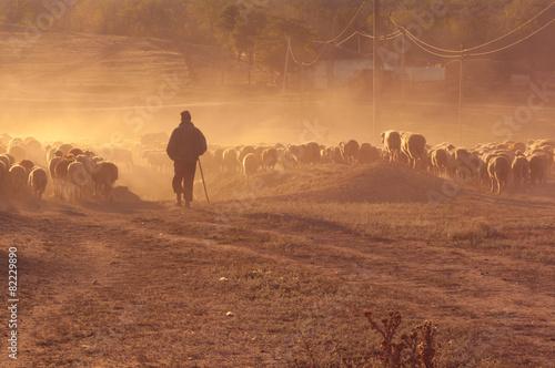 Valokuva Shepherd with flock of sheep at sunset