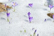 Krokusy w śniegu