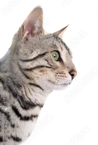 Wall Murals Lynx bengal cat silver