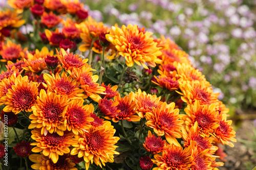 Fotografía cluster of orange chrysanthemum flowers