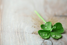 Green Clover Leaf With Drops O...