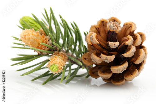 Fotografía Pine cone