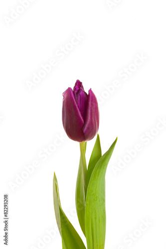 Foto op Plexiglas Tulp tulip flower burgundy