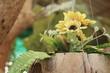 Yellow flowers in pots in the garden