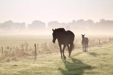Horses Walk On Misty Pasture
