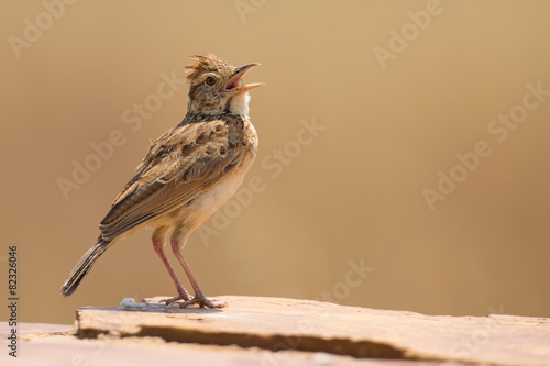 Valokuva  Rufous-naped lark sit on a rock and call to claim territory