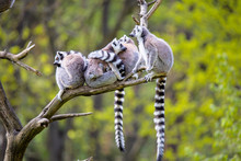 Group On A Tree Ring-tailed Le...