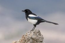 Magpie,(Pica Pica), Posada On A Rock In The Snow. Spain