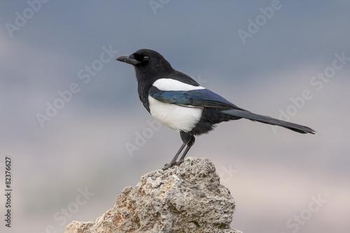 Fotografía  Magpie,(Pica pica), posada on a rock in the snow. Spain