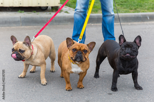Staande foto Franse bulldog three domestic dogs French Bulldog breed