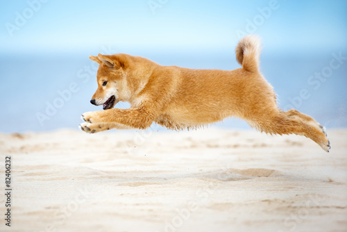 Photographie shiba-inu puppy in a jump