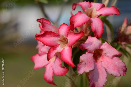 Papiers peints Azalea azalea flowers pink