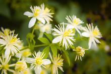 Close Up Of Old Man's Beard Or Clematis Vitalba Flowers Under The Warm Italian Sun