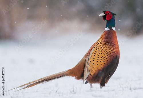 Fototapeta pheasant