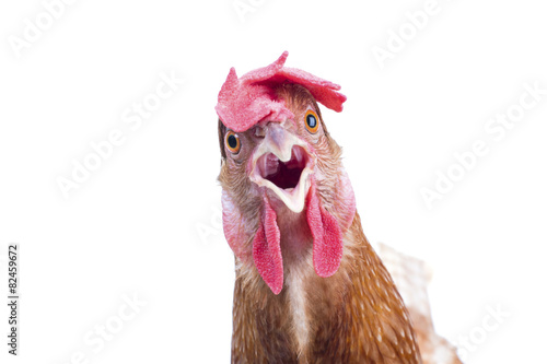 Poster Poules close up portrait full body of brown female eggs hen standing sh