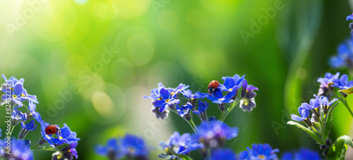 Photo  art spring or summer background with forget-me-not flower