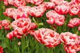 Zakwitnięte tulipany