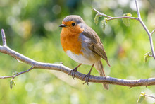 Robin In Natural Setting