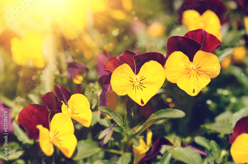 Papiers peints Pansies Closeup photo of beauty flowers in garden