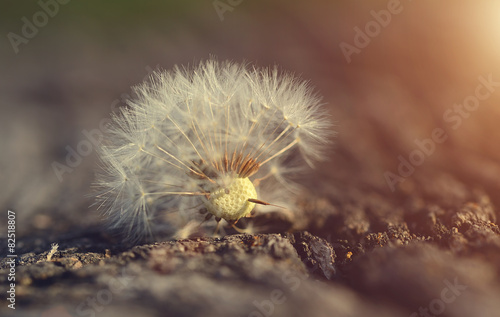 Dandelion seed on wooden background