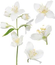 White Jasmine Blossom Collecti...