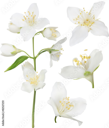 Cuadros en Lienzo white jasmine blossom collection illustration