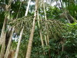 Kohlpalme, Euterpe oleracea. Amazonas, Brasilien