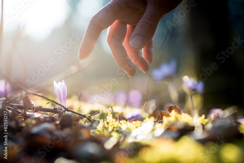 Fotografie, Obraz  Hand of a man above a new delicate blue flowers in a shaft of su