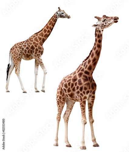 Poster Giraffe Two giraffes in different positions isolated with clipping path