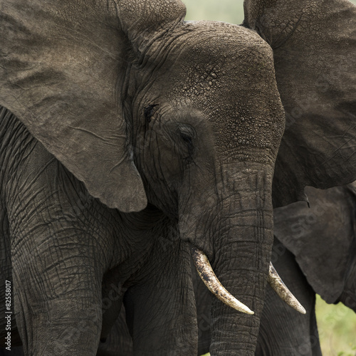 Canvas Prints Elephant Close-up of an elephant, Serengeti, Tanzania, Africa