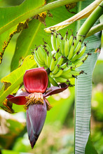 The Flower And The Fruit Of The Banana Growing On A Banana Tree.