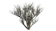 African Olive Shrub Winter - Isolated On White Background