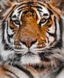 TIGER, Tigers face