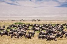Herd Of Wildebeest In The Nogo...