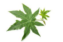Castor Leaves
