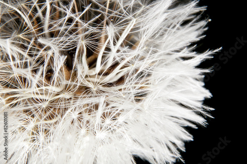Dandelion ball closeup
