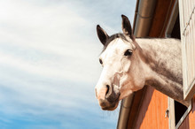 Portrait Of Thoroughbred Gray Horse In Stable Window. Filtered I