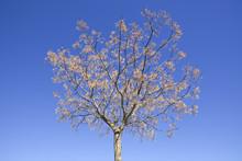 Chinaberry Melia Tree