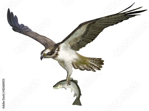 Photo  Osprey