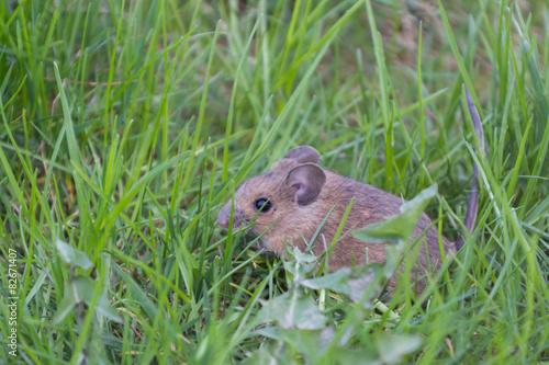 Fotografía  Maus sentado im Gras