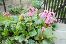 Rhubarb Plant / Flowering Rhub...