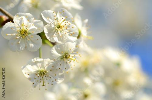piekne-delikatne-kwiaty-kwitnacej-wisni-na-tle-nieba