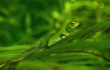 Little Green Chameleon On A Palm Leaf