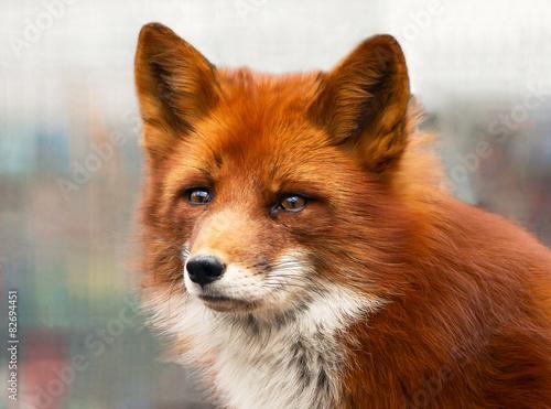 Valokuva  Рыжая лисица