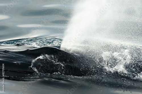 Fotografie, Tablou Humpback Whale Blow Hole