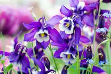 Frühlings-Schönheiten: Violette Akeleien :)